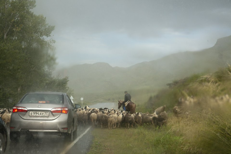 A young shepherd on a horse with his sheep on a road in western Tuva under a heavy rain. After the construction of Sayano-Shushenskaya hydroelectric dam on river Yenissei in the neighboring Krasnoyarsk Territory in the 1980s, locals have been observing a drastic change in climate - the latter becoming warmer and more humid, with heavy and abrupt rains.